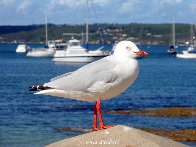 Seagull - Cinquain
