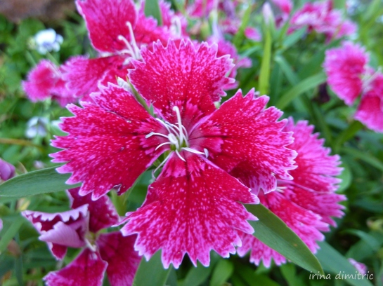 Dianthus in my Garden