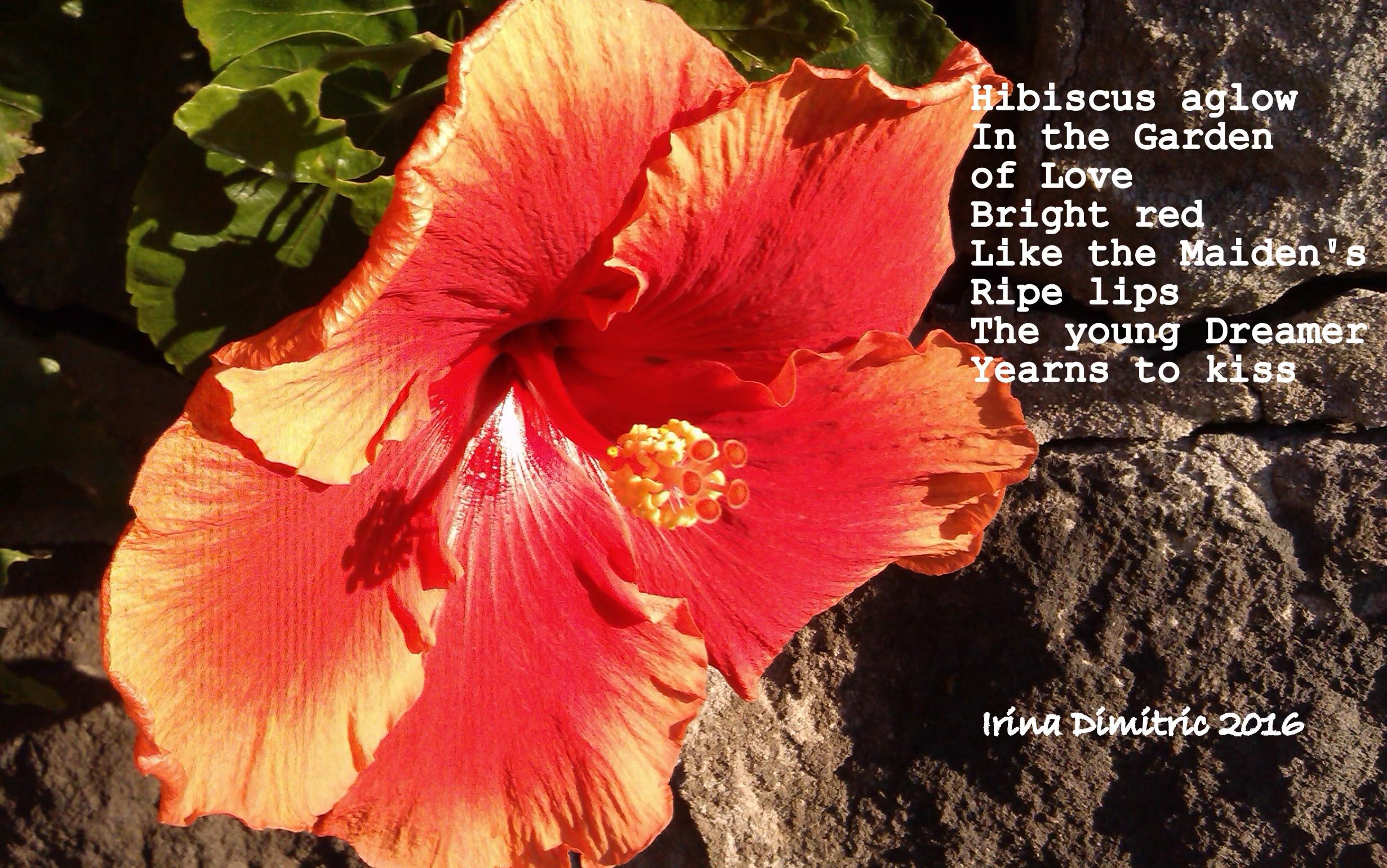 Hibiscus for valentines day irinas poetry corner imag2109 001 hibiscus aglowg crop izmirmasajfo