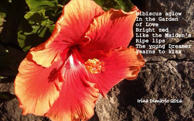 IMAG2109-001 Hibiscus aglow.jpg crop