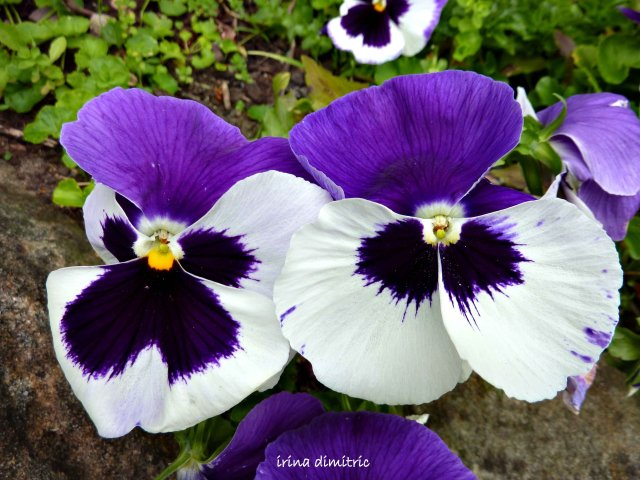 P1120360 pansies- signed