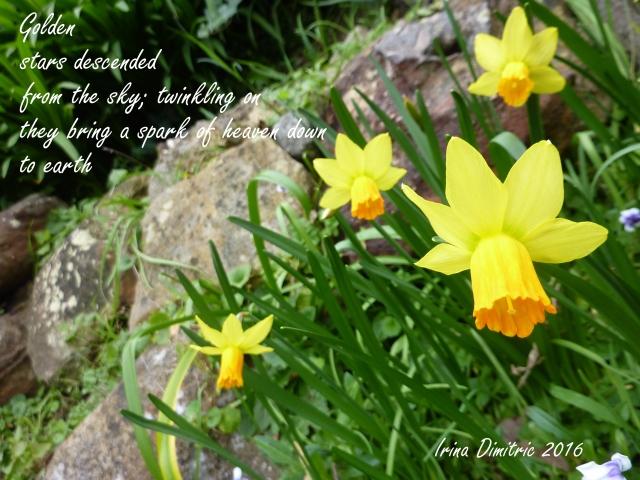 P1250816-001 Daffodils - Cinquain