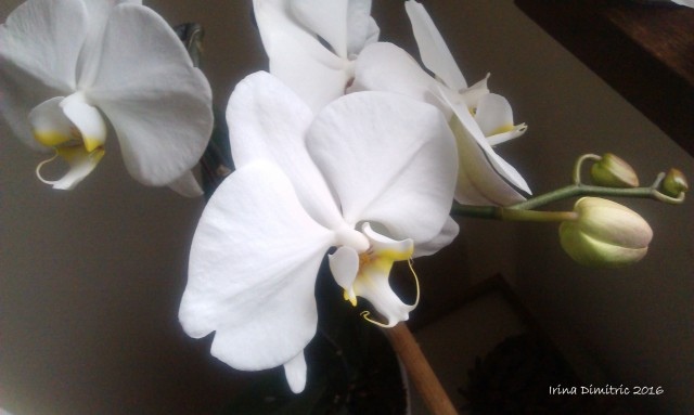 imag3890-white-orchid-signed