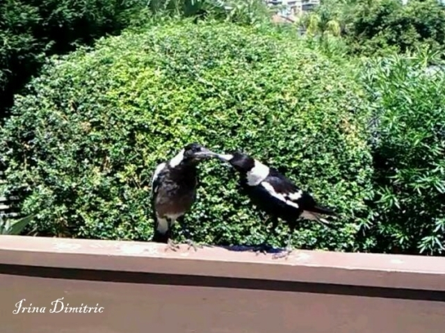 Mother Magpie feeding her fledgling