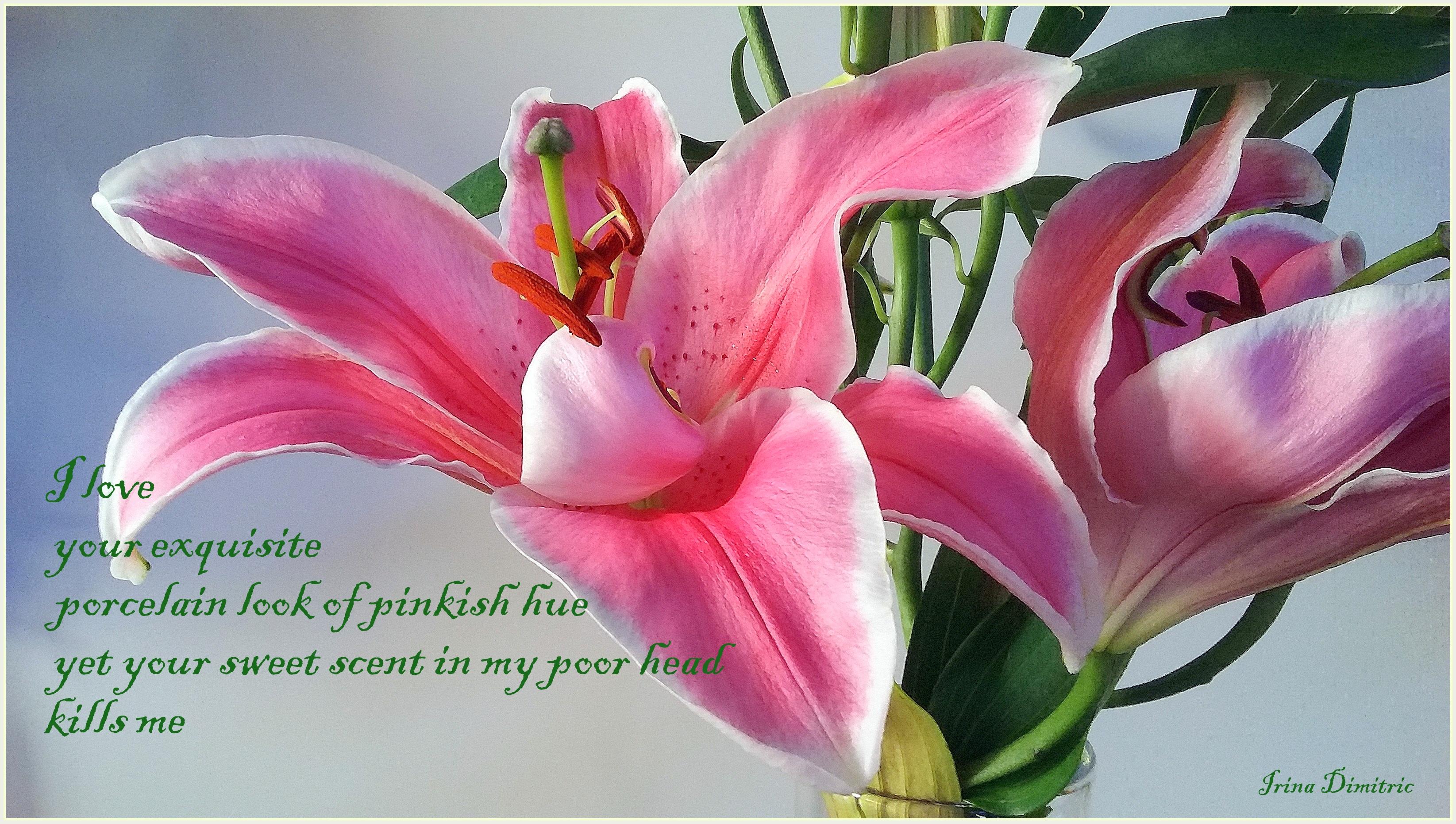 Pink Lily Cinquain Irinas Poetry Corner